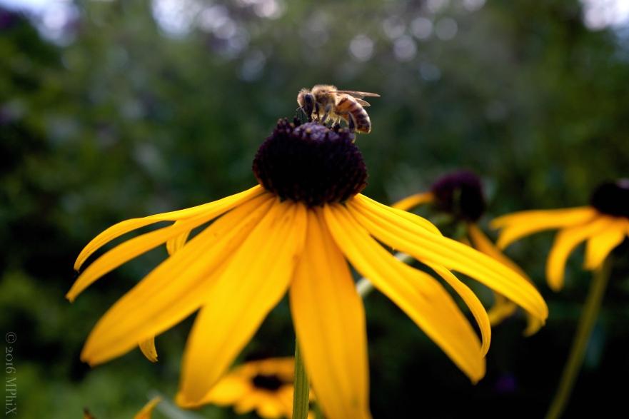 brookside-gardens-bee-on-rudbeckia_mphix