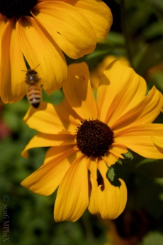 brookside-gardens-yellow-daisies-with-bee_mphix