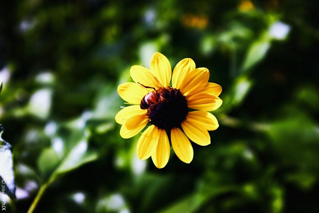 dc-botanical-gardens-bee-on-helichrysum-sharp_mphix