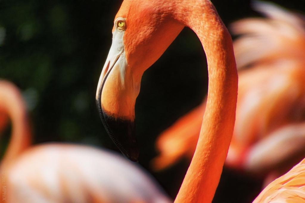 dc-zoo-flamingo-head-2_mphix